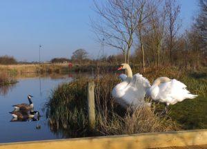 Swans at Wichelstowe